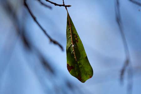 Diseased water oak (Quercus nigra) leaf hanging from a tree 版權商用圖片