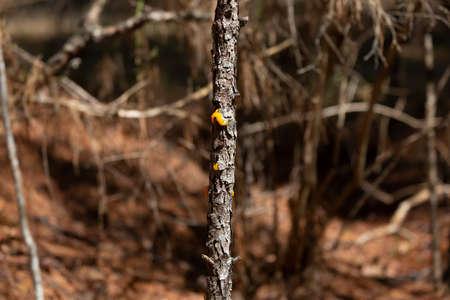 Orange jelly fungus (Dacrymyces chrysospermus) on a tree 版權商用圖片