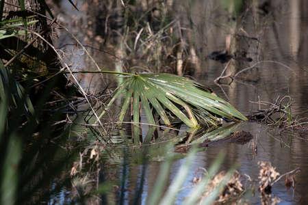 Saw palmetto (Serenoa repens) plant fallen into a small waterway