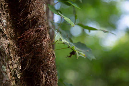 Close up of poison ivy growing down a tree 版權商用圖片
