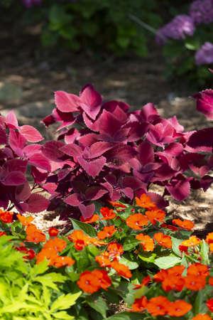 Leaves of a purple coleus behind orange blooms and green leaves