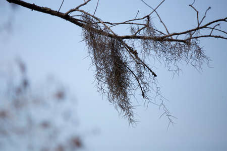 Spanish moss (Tillandsia usneoides) hanging from a tree limb on a cool day 版權商用圖片