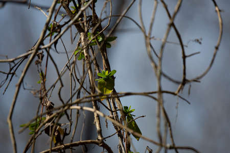 Green leaves growing from mostly bare vines against a blue sky