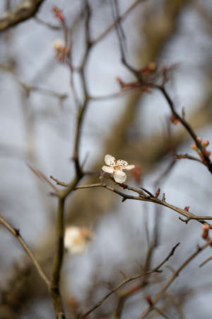 White flower blooming on a bare limb on a cold day 版權商用圖片