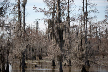 Trees covered in Spanish moss in the swamp 版權商用圖片
