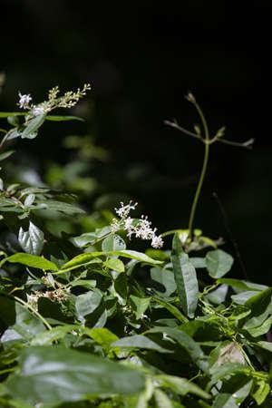 Tiny white blooms flowering on a green plant 版權商用圖片