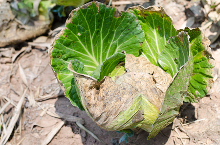 blight: Cabbage infected Bacterial blight disease Stock Photo