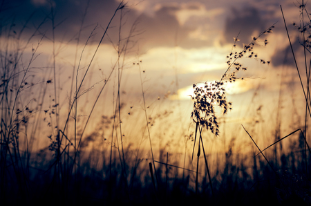 desaturated: Natal grass in sunset light meadow, silhouette natural background. Stock Photo