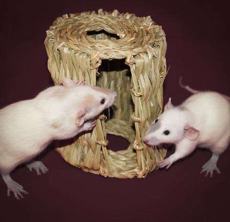 Curious White Rats Investigating Hay Chew Hut Фото со стока