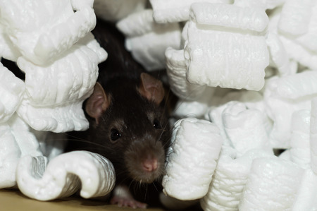 norvegicus: Curious brown rat buried in white packing polystyrene peanuts