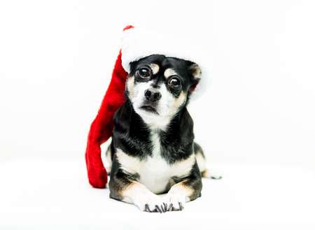 high key: Dog Wearing Christmas Stocking - Center - High key shot of a black, white, and tan dog wearing a red and white Christmas stocking and looking at the camera. Stock Photo