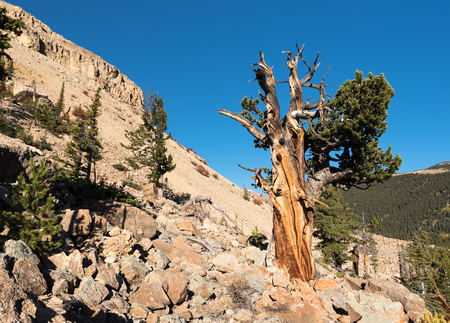 Limber Pine Grove on the North side of Sheep Mountain in the Mosquito Range Colorado. Stock Photo