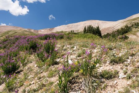 Mount Sherman is located in Lake County and is part of the Mosquito Range in Pike National Forest, Colorado. Wild flowers are abundant in the mid-summer alpine zone.