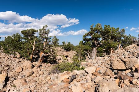 A  grove of ancient Limber Pine and Bristle Cone Pine trees located in the Mosquito Range. The South Park National Heritage Area is a 1.5 mile hike that goes through the area. Pike National Forest in central Colorado.