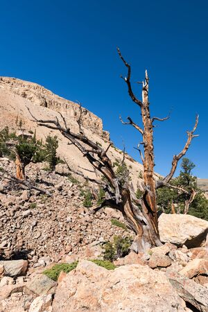 A  grove of ancient Limber Pine and Bristle Cone Pine trees located in the Mosquito Range. The South Park National Heritage Area is a 1.5 mile hike that goes through the area. Standard-Bild