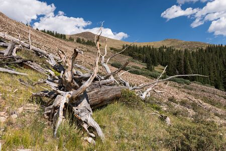 Alpine Driftwood in a meadow high above Boreas Pass Road, located within Pike National Forest.