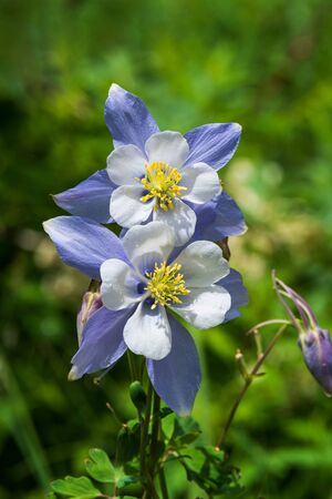 Blue Columbine which is Colorado's State Flower blooms in the early summer. Standard-Bild