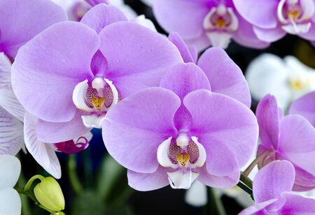Among the beautiful purple orchid photo
