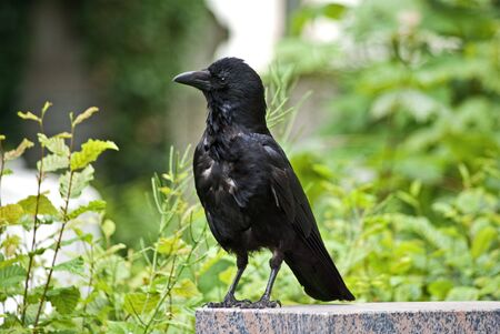 Portrait of a carrion crow photo