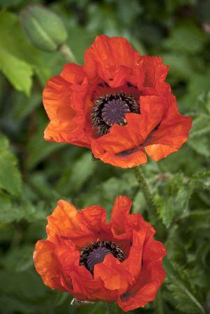 wild botany: Poppy flowers