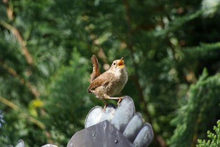 troglodytes: Singing wren Stock Photo