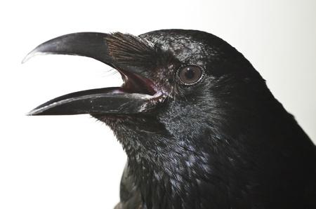 Portrait of a carrion crow