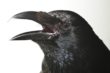 carrion:  Portrait of a carrion crow