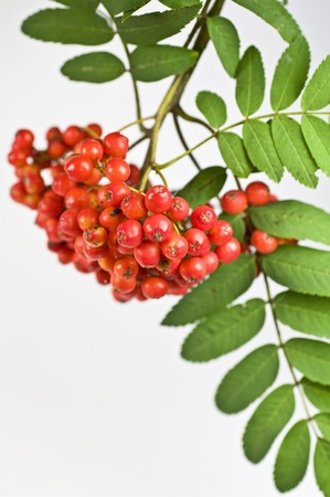 ash berry: Mountain ash berry