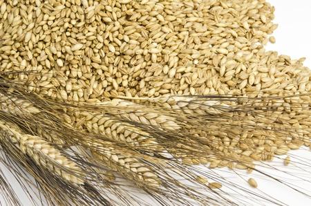 Barley and spike Stock Photo - 12467069