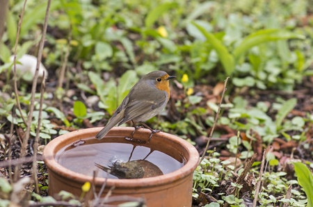 Robin sitting on a water bowl