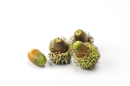 Acorns of european turkey oak photo