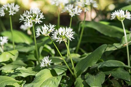 Blooming wild garlic in spring photo