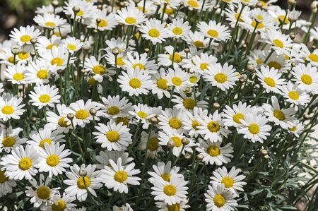 marguerites: Marguerites in the sun