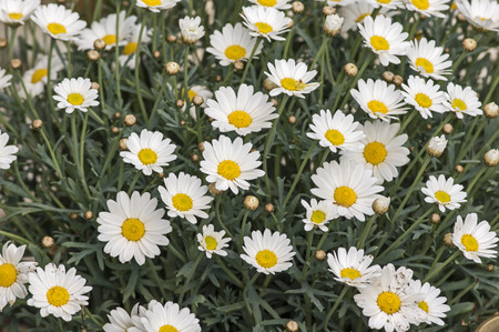 marguerites: Blooming marguerites