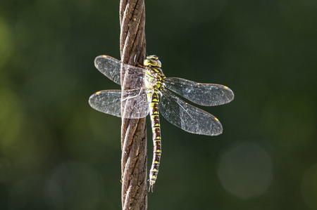 hawker: Green hawker on a cable