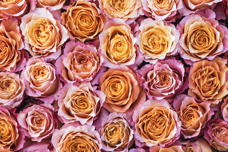 rosas naranjas: Pink and orange roses