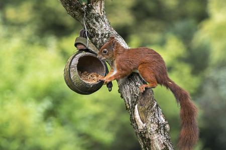 Red squirrel on a birdfeeder Stock Photo
