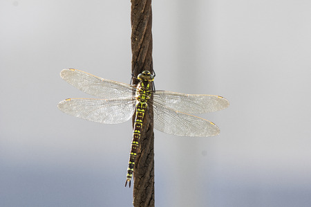 Green hawker on a steel cable Stock Photo