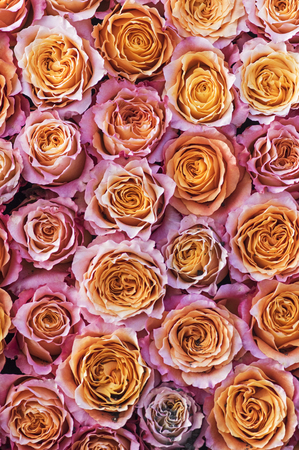 Roses in pink and orange