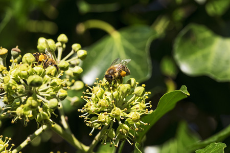 Bee on a blooming ivy