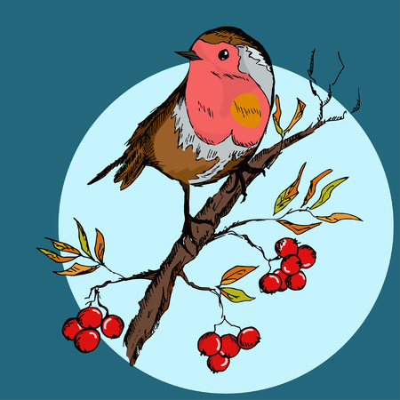 robin bird: Colorful hand drawn illustration of robin bird sitting on rowan branch with berries. Vector illustration