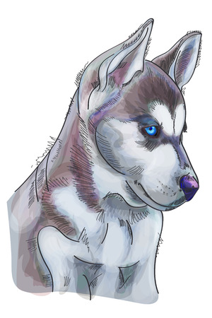 Hand drawn watercolor Siberian Husky on white background. Vector illustration eps 10 Illustration