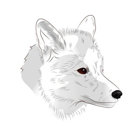 Arctic fox on white background vector illustration