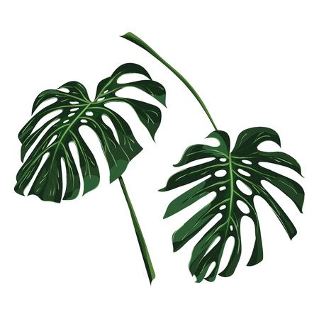 Tropical monstera leaves. Vector illustration