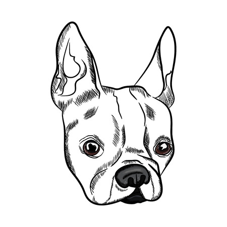 Outline sketch of french bulldog head on white background. Vector illustration