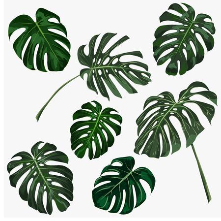 Conjunto de hojas de monstera tropical. Ilustración vectorial Foto de archivo - 88966518
