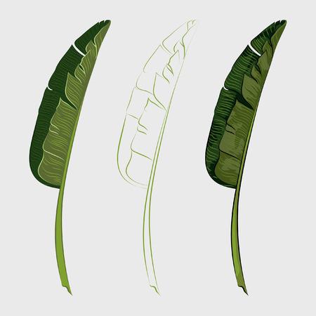 Set of tropical banana palm leaves. Vector illustration
