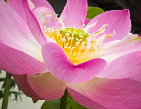 PInk Lotus  Stock Photo - 11854735