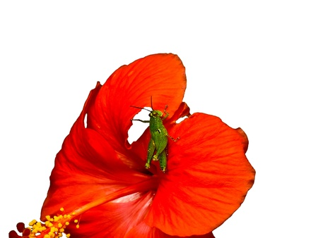 Red flower- Hibiscus and grasshopper photo