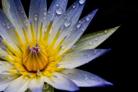 Close up white lotus flower photo